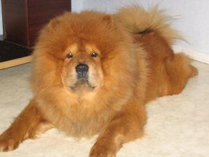 Чау-чау: описание породы, характер, чем кормить, как ухаживать за шерстью, выбор щенка, стандарты, история породы, ZooSecrets