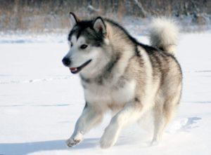 Аляскинский маламут: описание породы, уход и содержание, характер, кормление, стандарты, история, ZooSecrets