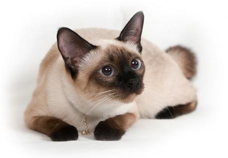 Все о сиамских котах уход