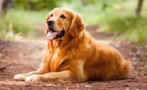Золотистый ретривер: описание породы, характер, фото, уход и содержание, чем отличается от лабрадора, ZooSecrets