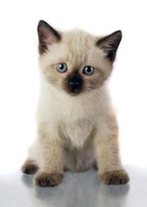 картинки сиамских котов