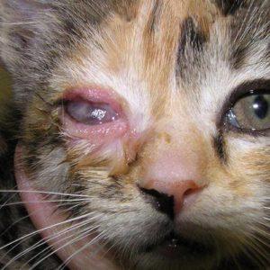 Хламидиоз у кошек симптомы