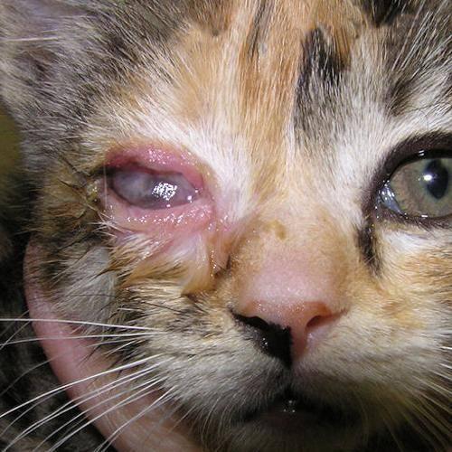 Заразилась от кота хламидиоз