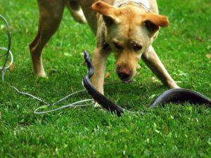 что делать если собаку укусила змея