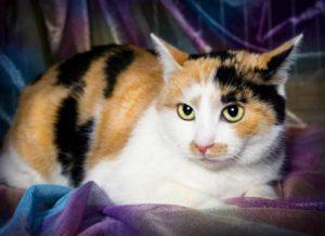 кошка цвета калико