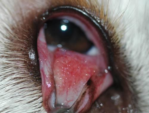 Конъюнктивит у собаки: чем лечить, симптомы, виды, лечение ...