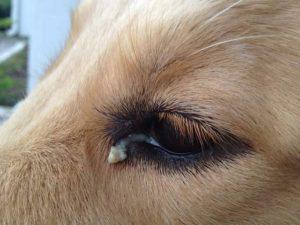 Как вылечить собаку от коньюктивита