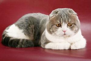 Шотландская вислоухая кошка: описание породы и характера