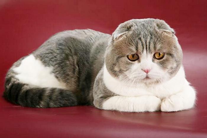 Шотландская прямоухая и вислоухая кошка: описание породы и характер, имена
