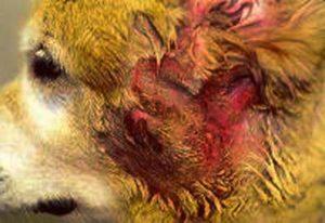 Аллергический дерматит у собак профилактика