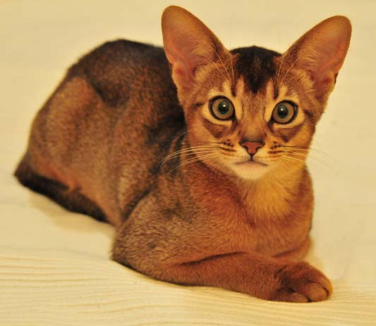 Уход за шерстью кошек разных пород
