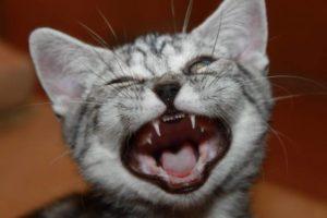 Во сколько меняются зубы у кошек меняются зубы