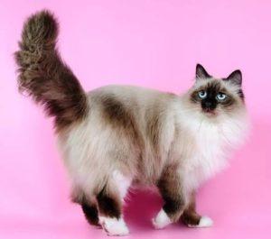 Невская маскарадная кошка описание породы невской маскарадной