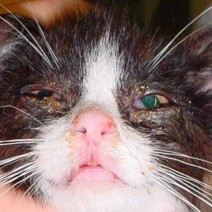 Хламидийный конъюнктивит у котенка thumbnail