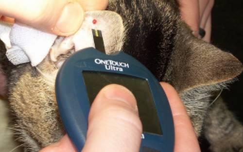Повышена глюкоза в крови у кошки