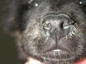 Насморк у собаки: причины, симптомы, лечение