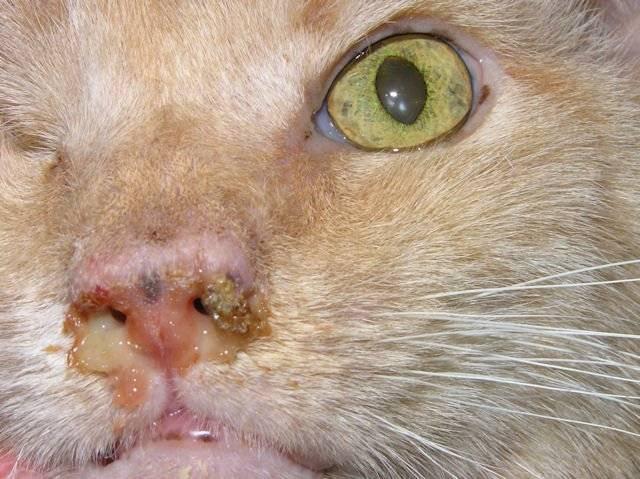 Лечение насморка у кошки: убираем причину