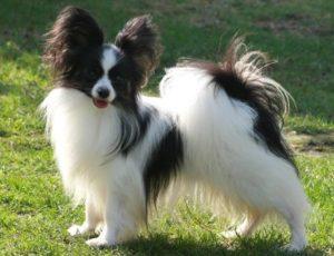 Собаки порода папильон
