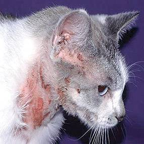 Дерматит у кошек симптомы и лечение фото