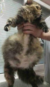 Беременная кошка или асцит