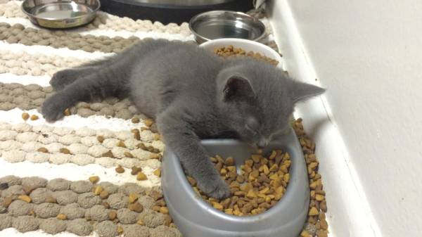 Сколько раз в день необходимо кормить кошку или кота