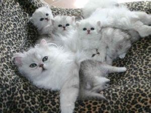 Признаки родов у кошки