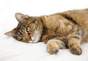 Анемия у кота преднизолон thumbnail