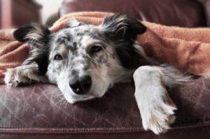 Анемия у беременных собак