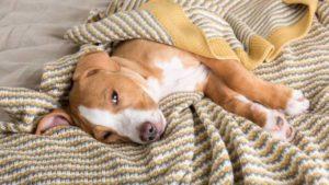 Железодефицитная анемия у щенков thumbnail