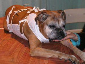 Пиометра у собак симптомы и лечение антибиотиками